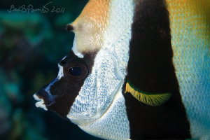 Masked Banner Fish in Maamigili Beyru - South Ari Atoll by Boris Pamikov 